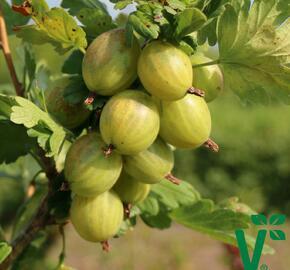 Angrešt zelený 'Giggles Green' - Grossularia uva crispa 'Giggles Green'