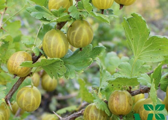 Angrešt žlutý 'Giggles Gold' - Grossularia uva crispa 'Giggles Gold'