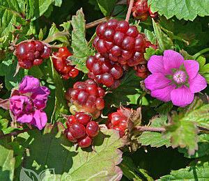 Ostružiník arktický 'Mespi' - Rubus arcticus 'Mespi'