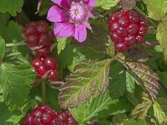 Ostružiník arktický 'Beata' - Rubus arcticus 'Beata'