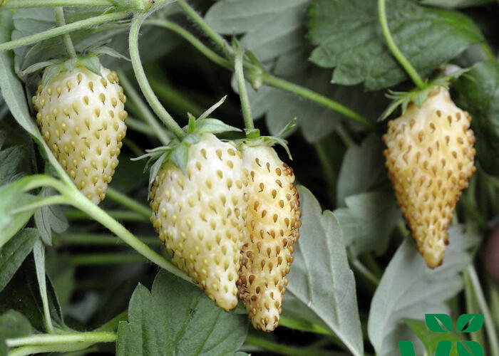 Jahodník měsíční 'Tubby White' - Fragaria vesca 'Tubby White'