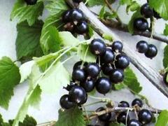 Rybíz černý 'Ben Lemond' - Ribes nigrum 'Ben Lemond'