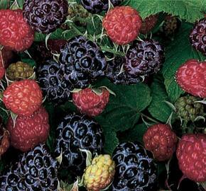 Maliník černý 'Black Jewel' - Rubus idaeus 'Black Jewel'