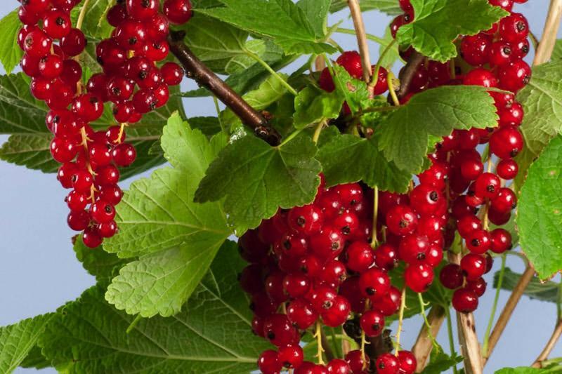 Rybíz červený 'Summer Pearls Red' - Ribes rubrum 'Summer Pearls Red'