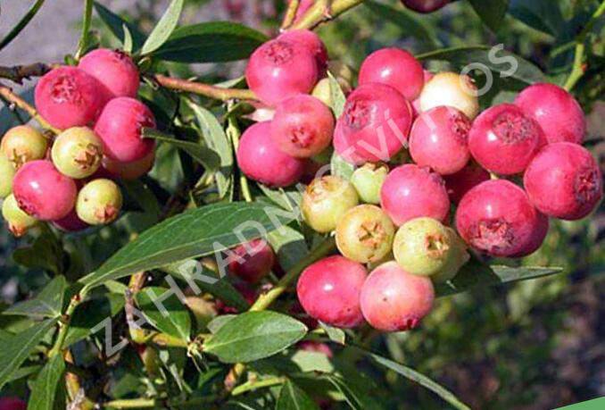 Borůvka chocholičnatá 'Color Bells Pink' - Vaccinium corymbosum 'Color Bells Pink'