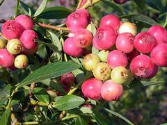 Borůvka 'Color Bells Pink' - Vaccinium hybridum 'Color Bells Pink'