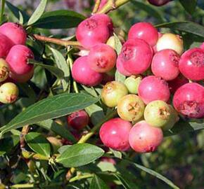 Borůvka 'Color Bells Pink' - Vaccinium corymbosum 'Color Bells Pink'