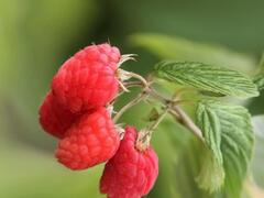 Maliník beztrnný, remontantní 'Glen Dee' - Rubus idaeus 'Glen Dee'