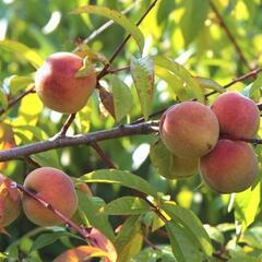 Broskvoň - středně raná 'Telura' - Prunus persica 'Telura'