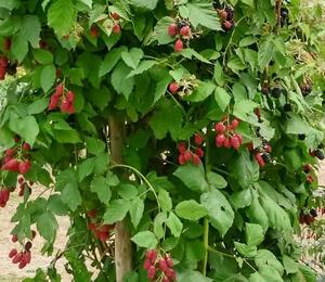 Ostružiník beztrnný 'Jumbo' - Rubus fruticosus 'Jumbo'