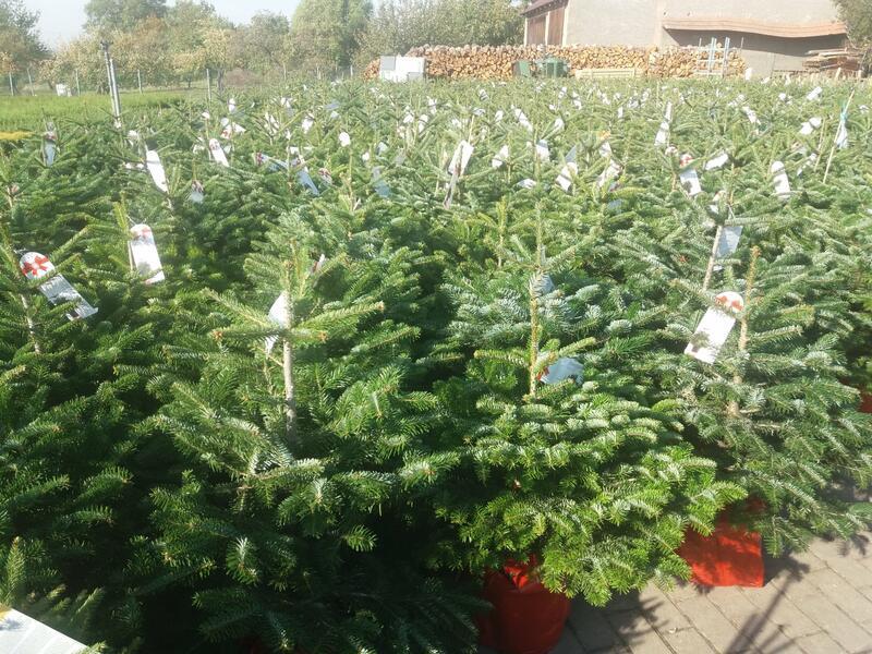Vánoční stromky a vazba