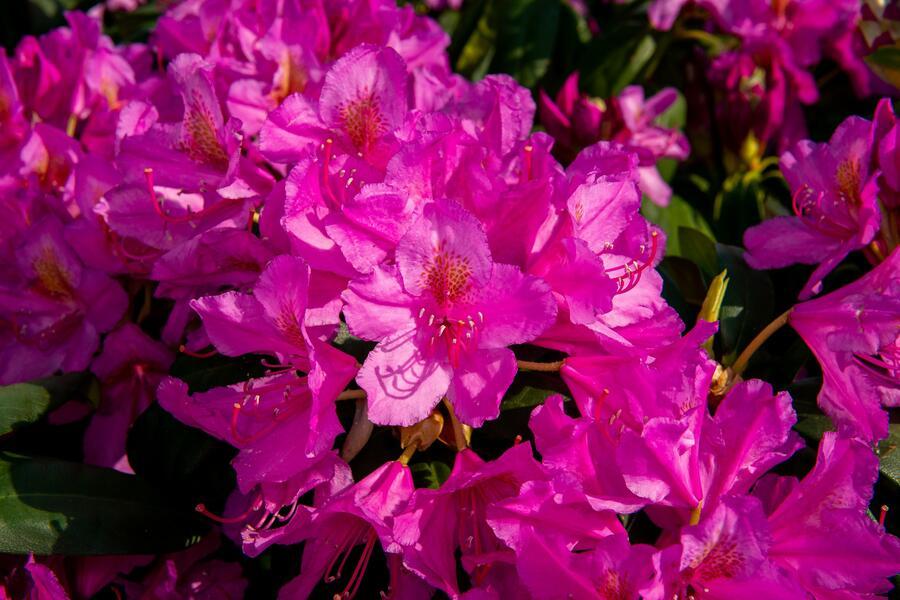 Pěnišník 'Delta' - Rhododendron (T) 'Delta'