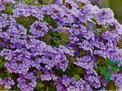 Verbena, sporýš 'Vectura Lavender' - Verbena 'Vectura Lavender'