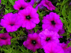 Petúnie 'Purple' - Petunia hybrida Sanguna 'Purple'