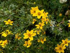 Dvouzubec prutolistý 'Solaire Horizon' - Bidens ferulifolia 'Solaire Horizon'