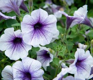 Petúnie 'Blue Vein' - Petunia hybrida Sanguna 'Blue Vein'