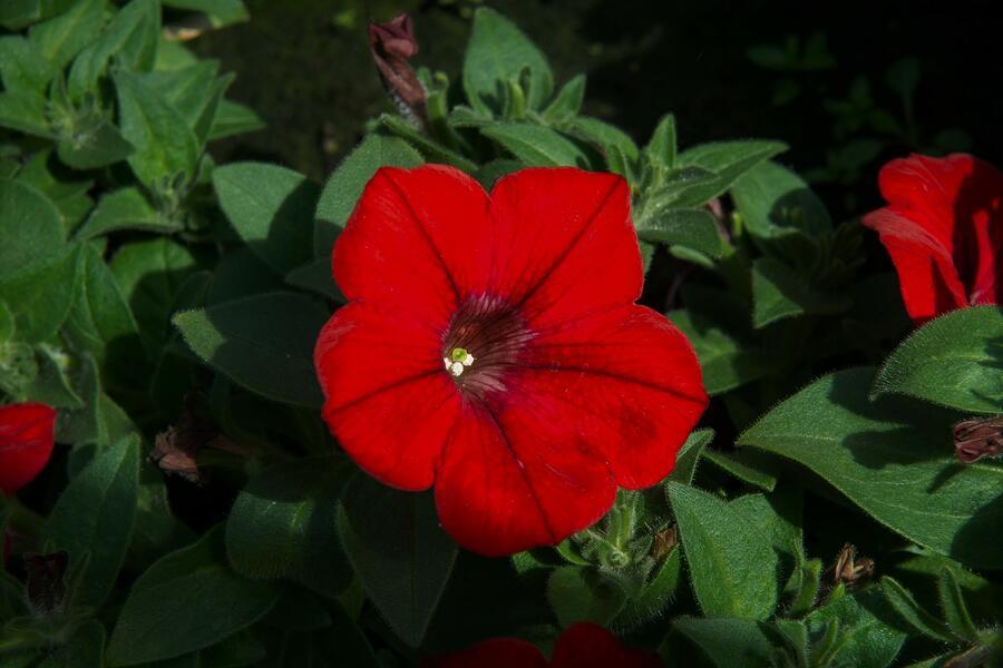 Petúnie 'Red' - Petunia hybrida Sanguna 'Red'
