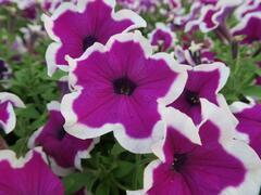 Petúnie 'Purple Picotee' - Petunia hybrida Sanguna 'Purple Picotee'