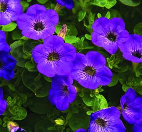 Petúnie 'Atomic Blue' - Petunia hybrida Sanguna 'Atomic Blue'