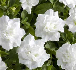 Petúnie 'Viva Double White' - Petunia hybrida 'Viva Double White'