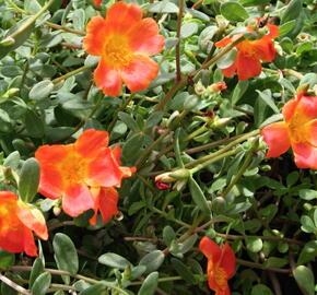 Šrucha 'Orange' - Portulaca umbraticola 'Orange'
