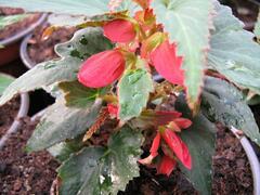Begónie 'Belmona Red' - Begonia 'Belmona Red'