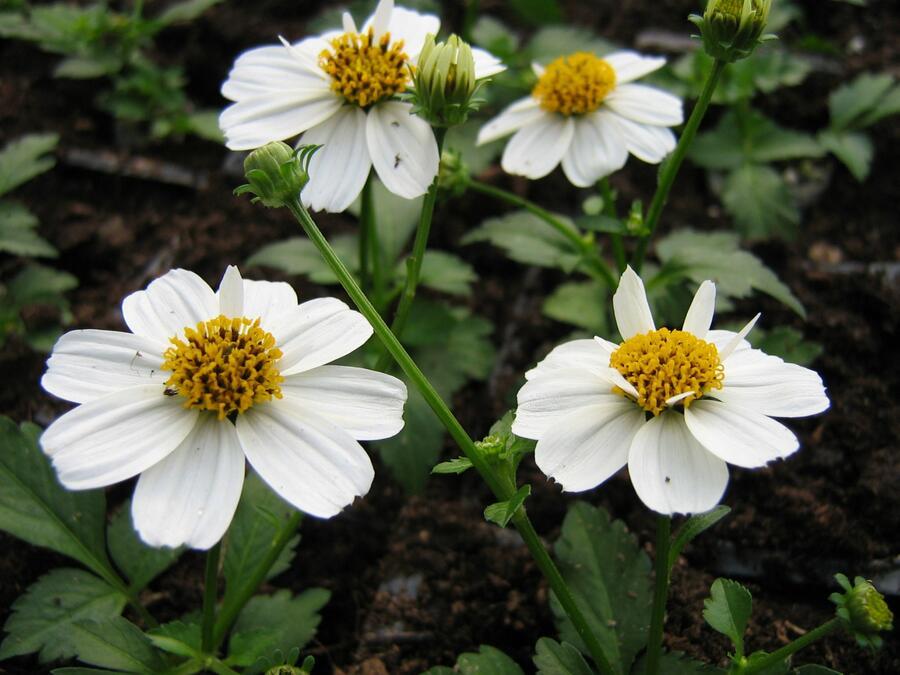 Dvouzubec prutolistý 'Bellamy White' - Bidens ferulifolia 'Bellamy White'