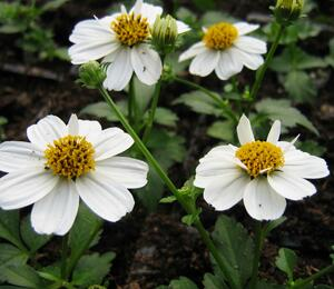 Dvouzubec prutolistý 'Bellamy White' - Bidens ferulifolia 'Bellamy White'