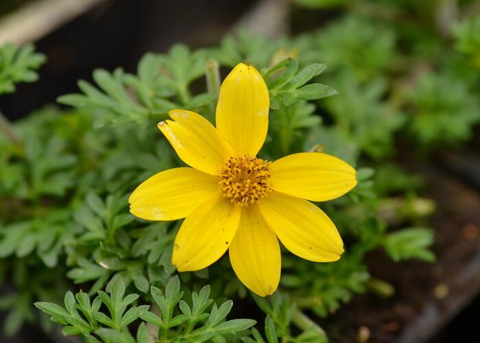 Dvouzubec prutolistý 'Yellow Charm' - Bidens ferulifolia 'Yellow Charm'