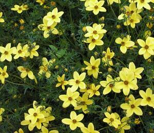 Dvouzubec prutolistý - Bidens ferulifolia