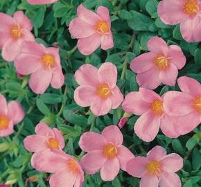 Šrucha 'Light Pink' - Portulaca umbraticola 'Light Pink'