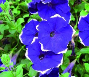 Petúnie 'Blue Picotee' - Petunia Pegasus 'Blue Picotee'