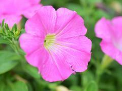Petúnie 'Pink' - Petunia Pegasus 'Pink'