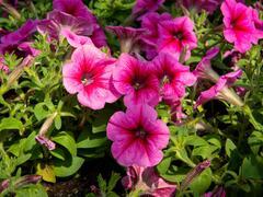 Petúnie 'Pegasus Patio Rose Vein' - Petunia hybrida 'Pegasus Patio Rose Vein'