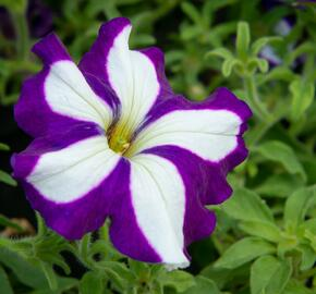 Petúnie 'Pegasus Patio Blue Star' - Petunia hybrida 'Pegasus Patio Blue Star'