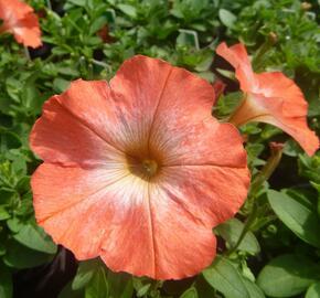 Petúnie 'Orange Morn' - Petunia hybrida Pegasus 'Orange Morn'