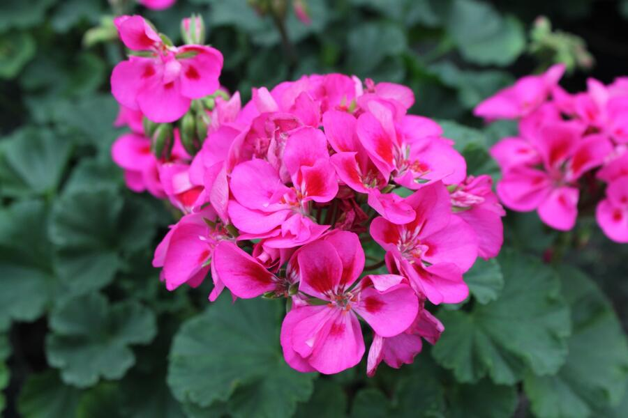 Muškát, pelargonie páskatá klasická 'Rose Splash Clips' - Pelargonium zonale 'Rose Splash Clips'