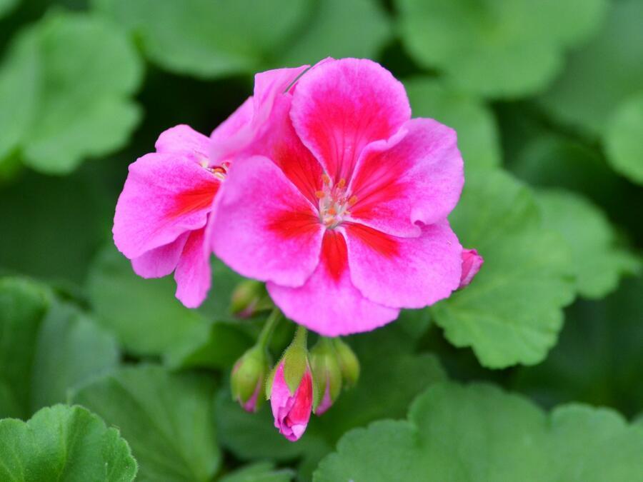 Muškát, pelargonie páskatá klasická 'Violet Splash' - Pelargonium zonale 'Violet Splash'