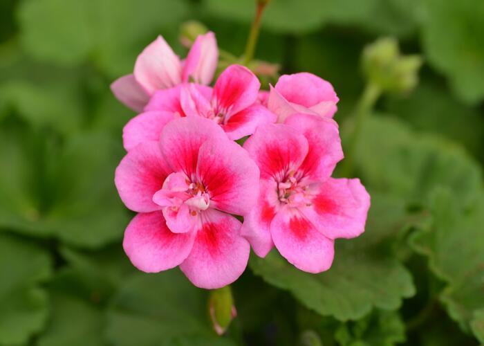 Muškát, pelargonie páskatá klasická 'Rose Splash' - Pelargonium zonale 'Rose Splash'