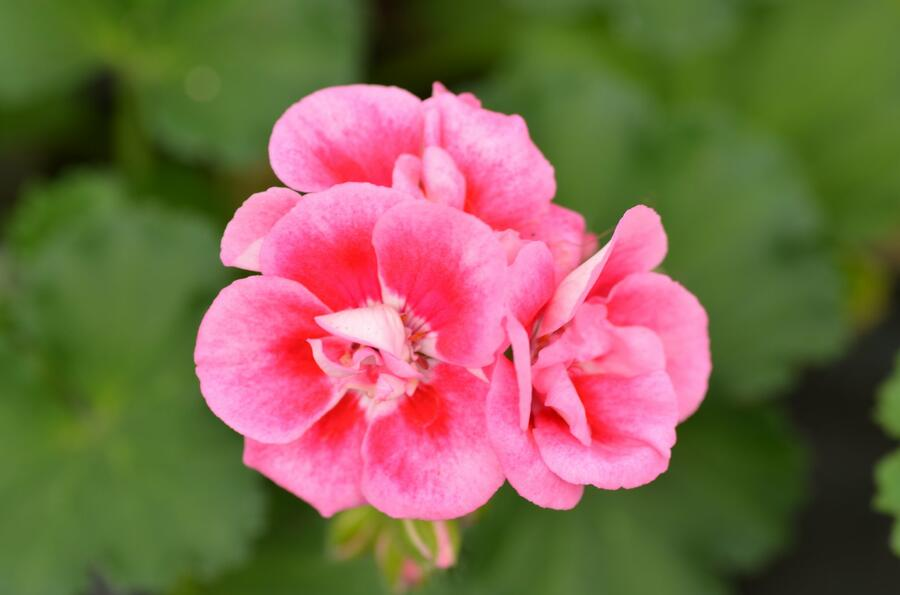Muškát, pelargonie páskatá klasická 'Strawberry Splash' - Pelargonium zonale 'Strawberry Splash'