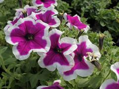 Petúnie 'Purple Picotee' - Petunia hybrida 'Purple Picotee'
