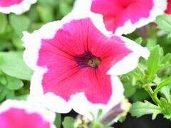 Petúnie 'Pink Picotee' - Petunia hybrida 'Pink Picotee'