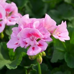 Muškát, pelargonie páskatá klasická 'Power Light Pink Splash' - Pelargonium zonale 'Power Light Pink Splash'