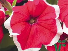 Petúnie velkokvětá 'Musica Rose Frost' - Petunia grandiflora 'Musica Rose Frost'