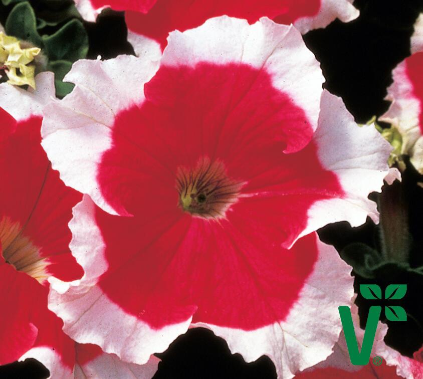 Petúnie velkokvětá 'Musica Red Frost' - Petunia grandiflora 'Musica Red Frost'