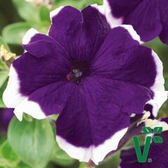 Petúnie velkokvětá 'Musica Blue Frost' - Petunia grandiflora 'Musica Blue Frost'