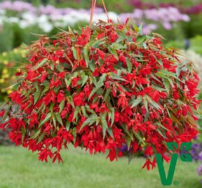 Begónie bolívijská 'Bellavista Red' - Begonia boliviensis 'Bellavista Red'