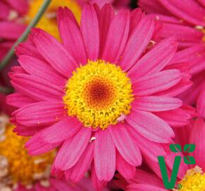 Kopretina pařížská 'Aramis Dark Rose' - Argyranthemum frutescens 'Aramis Dark Rose'