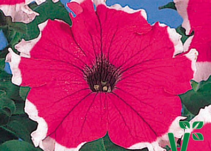 Petúnie velkokvětá 'Musica Velvet Frost' - Petunia grandiflora 'Musica Velvet Frost'