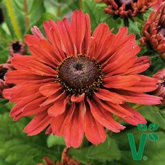 Třapatka 'Summerdaisy's Cherry' - Rudbeckia hybrida 'Summerdaisy's Cherry'